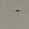 American Alligator (Alligator mississippiensis) Laguna Atascosa NWR, TX