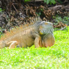Green Iguana (Iguana iguana) Grand Cayman, Cayman Islands