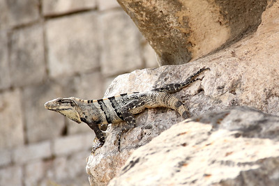 Reptiles of the Yucatan Peninsula (January 2012)