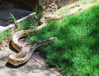 Bull Snake (Pituophis catenifer)
