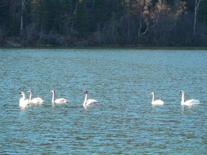Swans on Kenai River (always previously had only seen them on ponds or lakes)