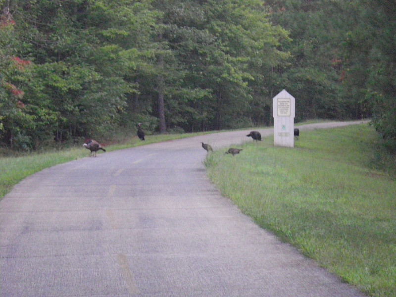 Wild Turkeys  I saw a whole lot of them.