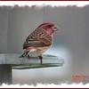Purple Finch - April 7, 2007