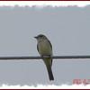 Flycatcher - June 15, 2007