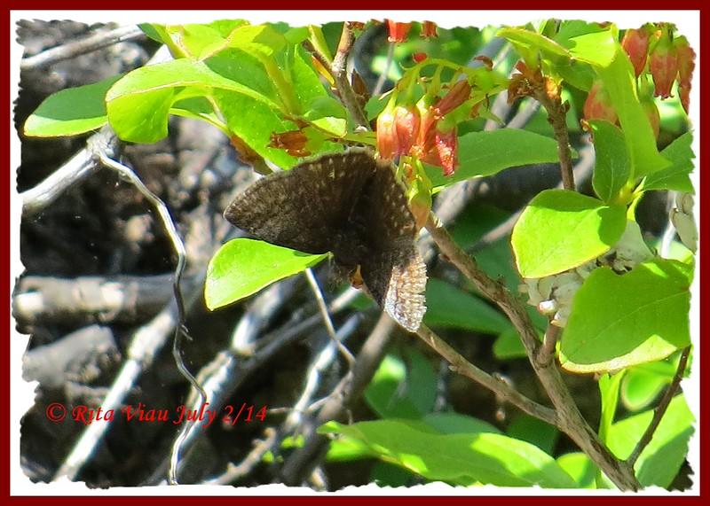 Dreamy Duskywing - July 2/14 - River Bourgeois, Cape Breton, NS