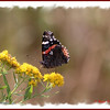 Red Admiral - September 4, 2012 - River Bourgeois