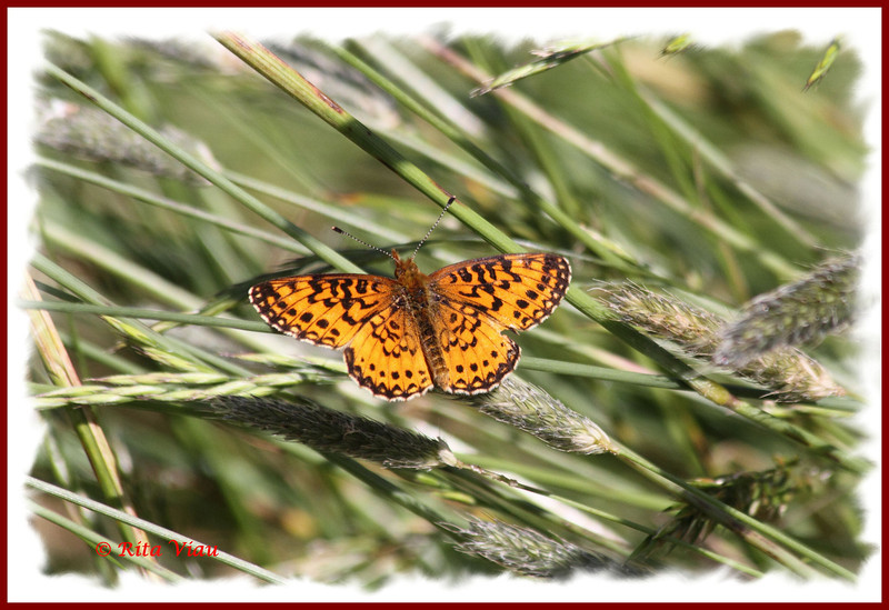 Silver-bordered Fritillary - July 2, 2011 - River Bourgeois