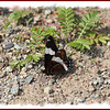 White Admiral - July 23, 2011 - River Bourgeois