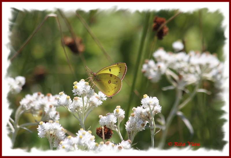 Clouded Sulphur - August 30, 2012 - River Bourgeois