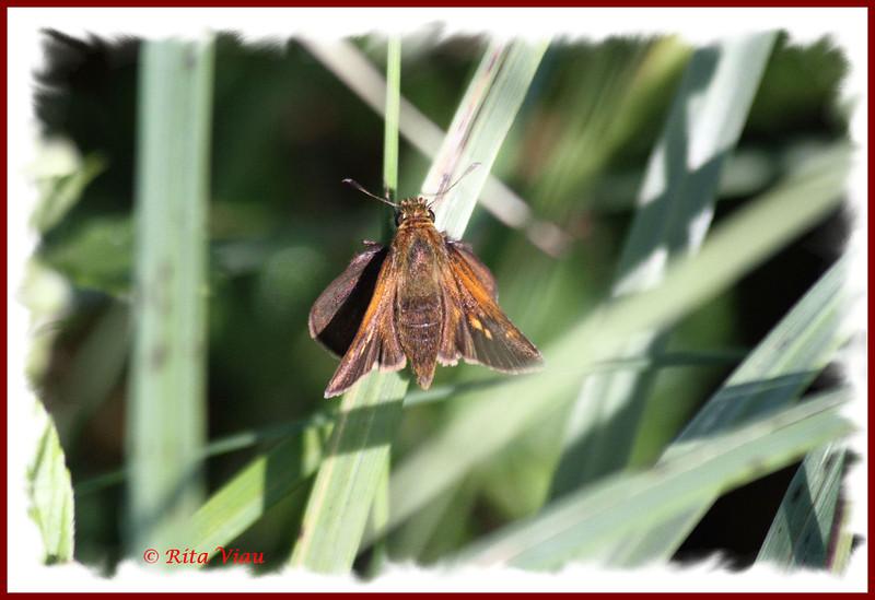Tawny-edged Skipper - June 29, 2012 - River Bourgeois