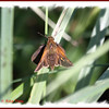 Tawny-edged Skipper - June 29, 2012 - River Bourgeois