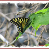 Canadian Tiger Swallowtail - June 30, 2012 - River Bourgeois