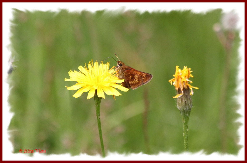 Long Dash Skipper - July 21, 2011 - River Bourgeois