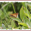 Peck's Skipper - July 21, 2011 - River Bourgeois