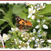 Painted Lady - June 30, 2012 - River Bourgeois