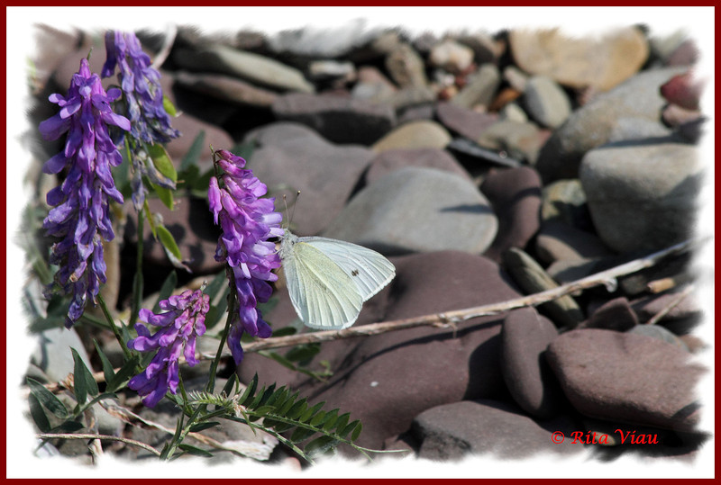 Cabbage White - June 30, 2012 - River Bourgeois
