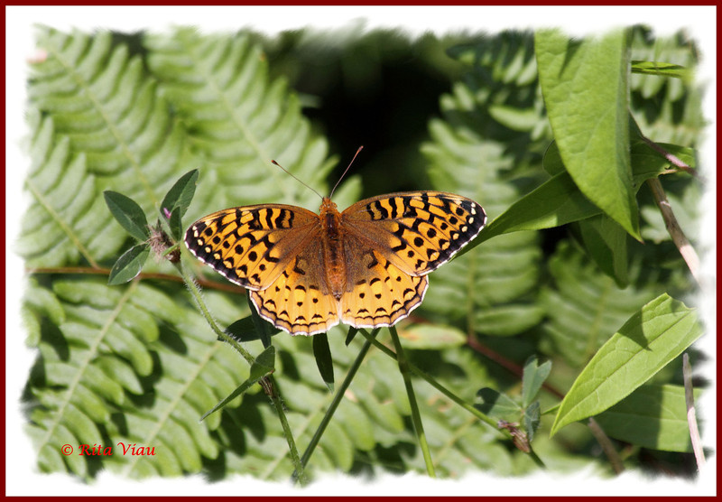 Great Spangled Fritillary - July 21, 2012 - River Bourgeois