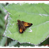 Hobomok Skipper - July 1, 2011 - River Bourgeois