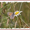 Common Ringlet - July 21, 2011 - River Bourgeois
