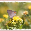 Grey Hairstreak - August 26, 2012 - River Bourgeois
