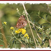 Great Spangled Fritillary - August 27, 2012 - River Bourgeois