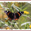Red Admiral - September 3, 2012 - River Bourgeois