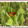 Long Dash Skipper - June 29, 2012 - River Bourgeois