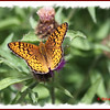 Atlantis Fritillary - July 21, 2012 - River Bourgeois