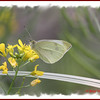 Cabbage White - July 21, 2011 - River Bourgeois