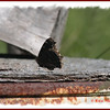 Mourning Cloak - July 1, 2012 - River Bourgeois