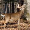 38 Licking Branch Buck