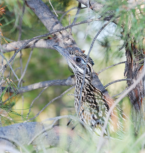 Roadrunner (fledged chick)