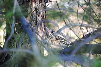 Roadrunner (fledged chick)