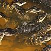 Baby gators!