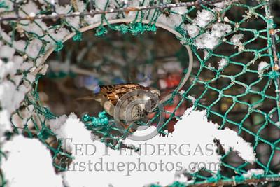 Bird in Lobster Trap - Rockport, Massachusetts - 261