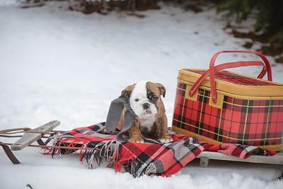 Rocky Mountain Bulldogs {Puppies}