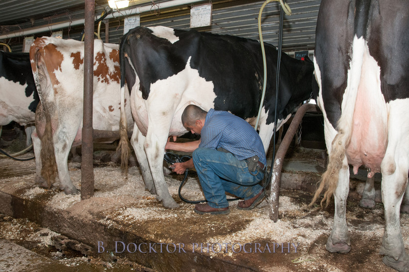 1209_Ronnybrook Farm Milking_009