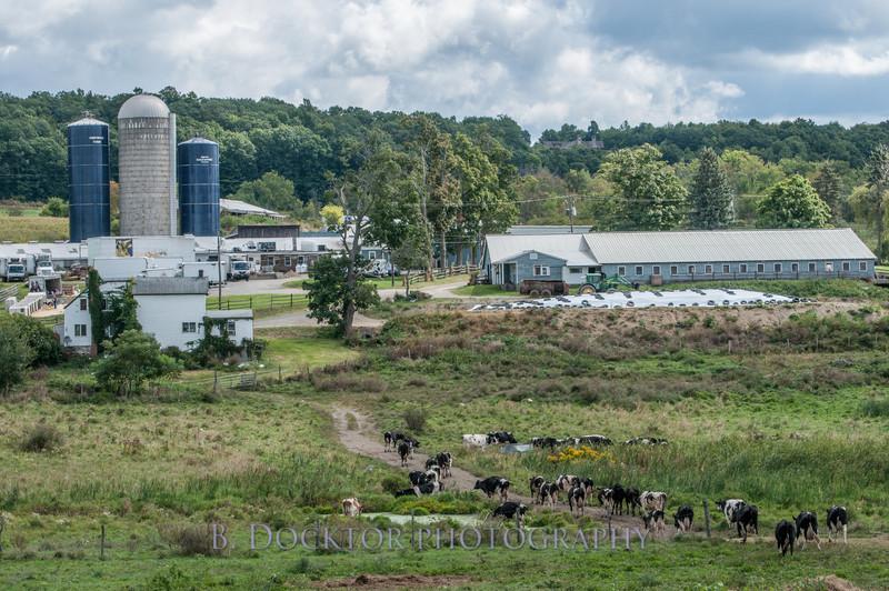 1209_Ronnybrook Cows_022