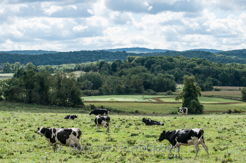1209_Ronnybrook Cows_018