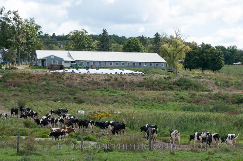 1209_Ronnybrook Cows_026