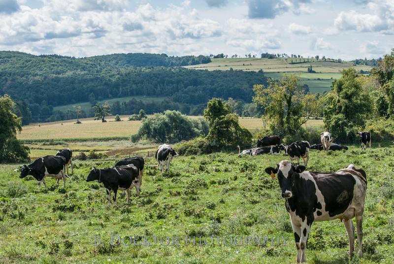 1209_Ronnybrook Cows_012