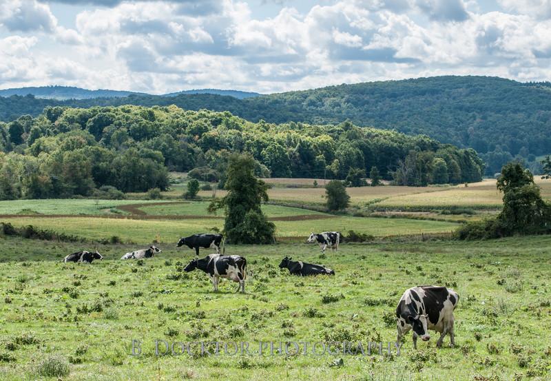 1209_Ronnybrook Cows_017