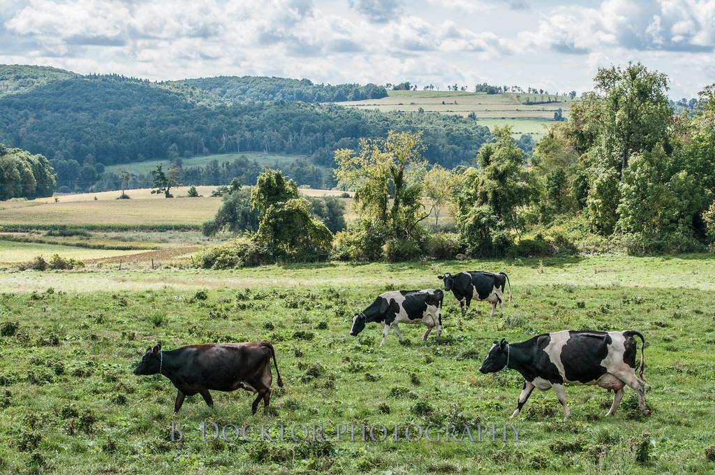 1209_Ronnybrook Cows_019