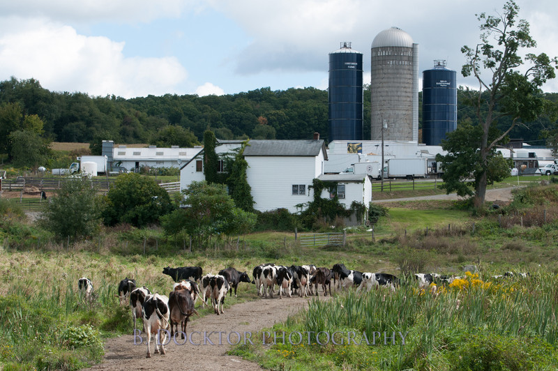 1209_Ronnybrook Cows_033