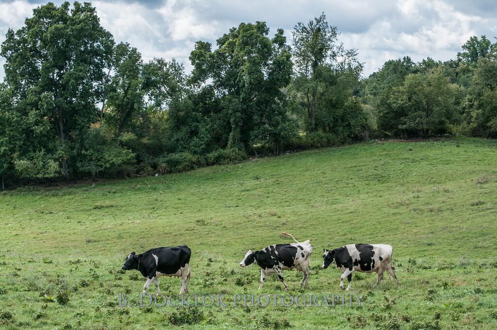 1209_Ronnybrook Cows_021