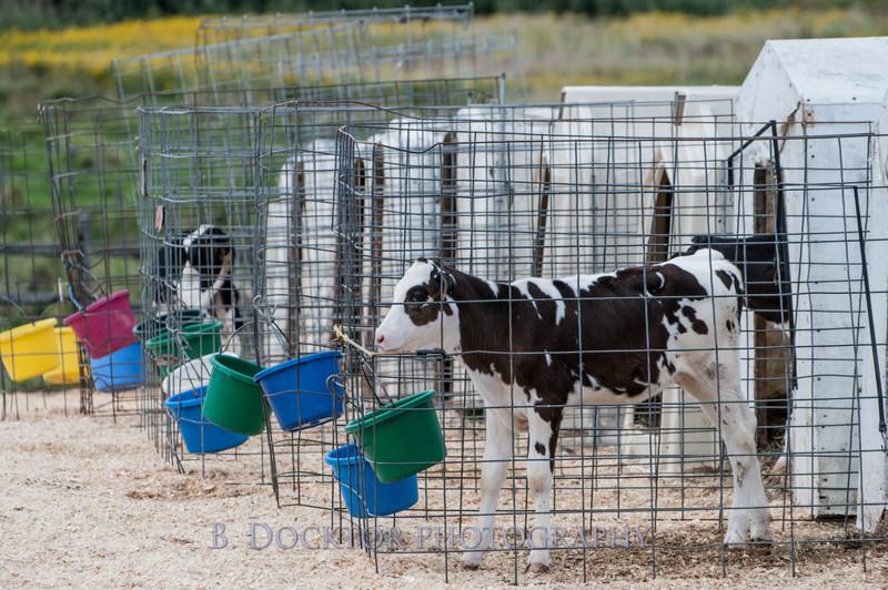1209_Ronnybrook Cows_041