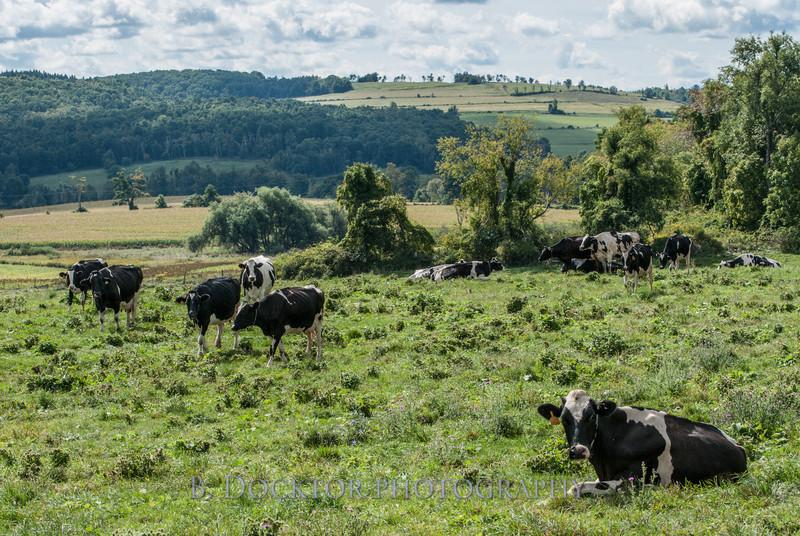 1209_Ronnybrook Cows_009