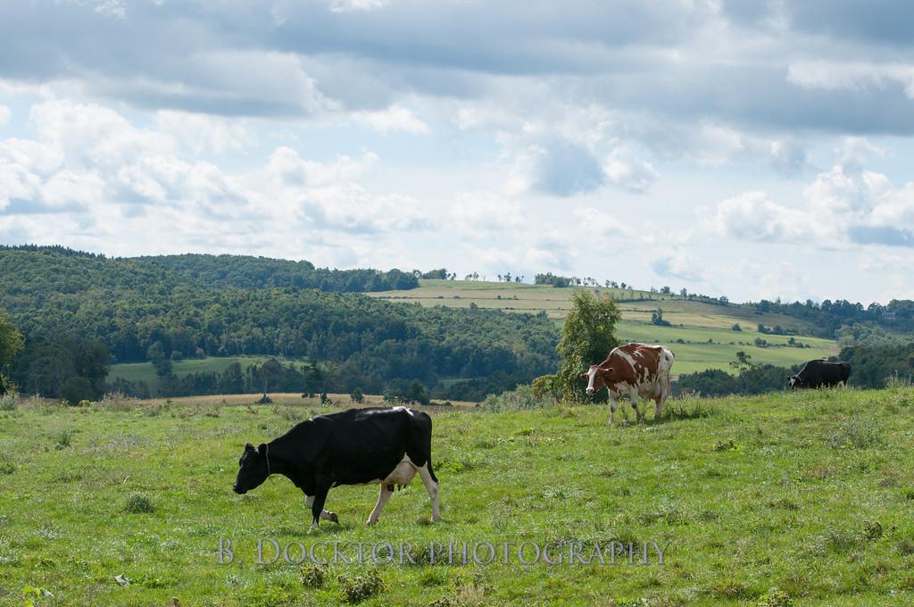 1209_Ronnybrook Cows_007