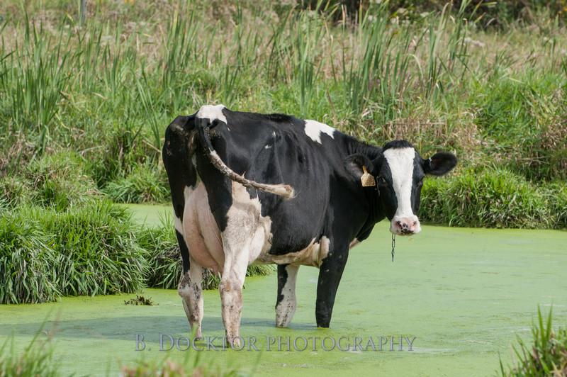 1209_Ronnybrook Cows_034