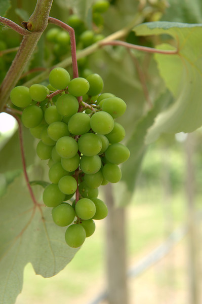 New white grapes
